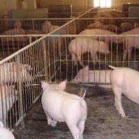 【养猪技术】小猪拉稀傻瓜配方,母猪产后不食处理措施