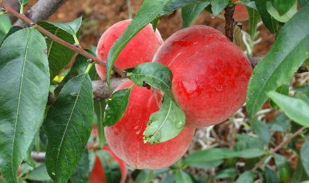 孕妇能吃桃子吗